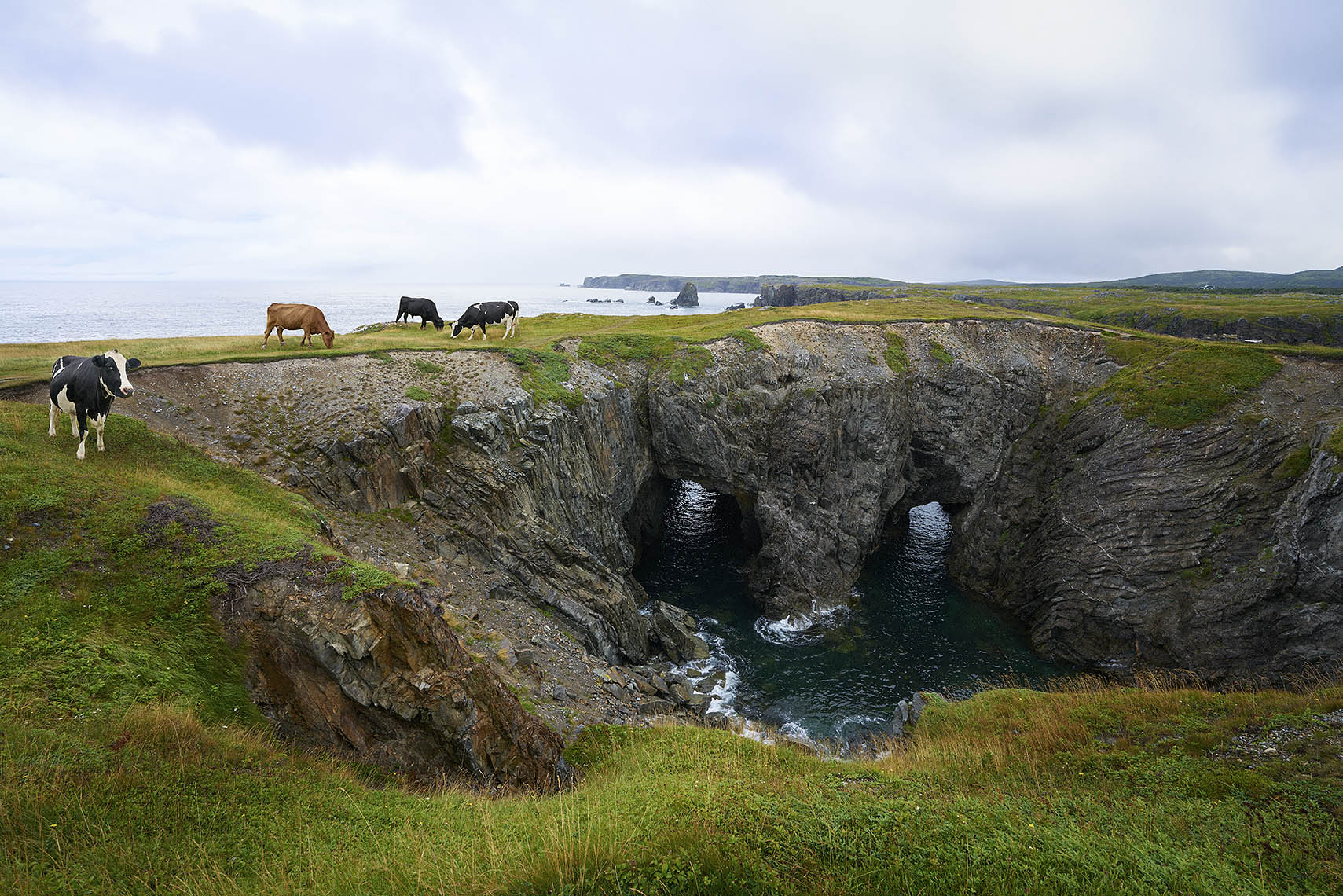 NFLD_Cows